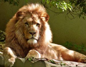 大きなパワーを持つライオン